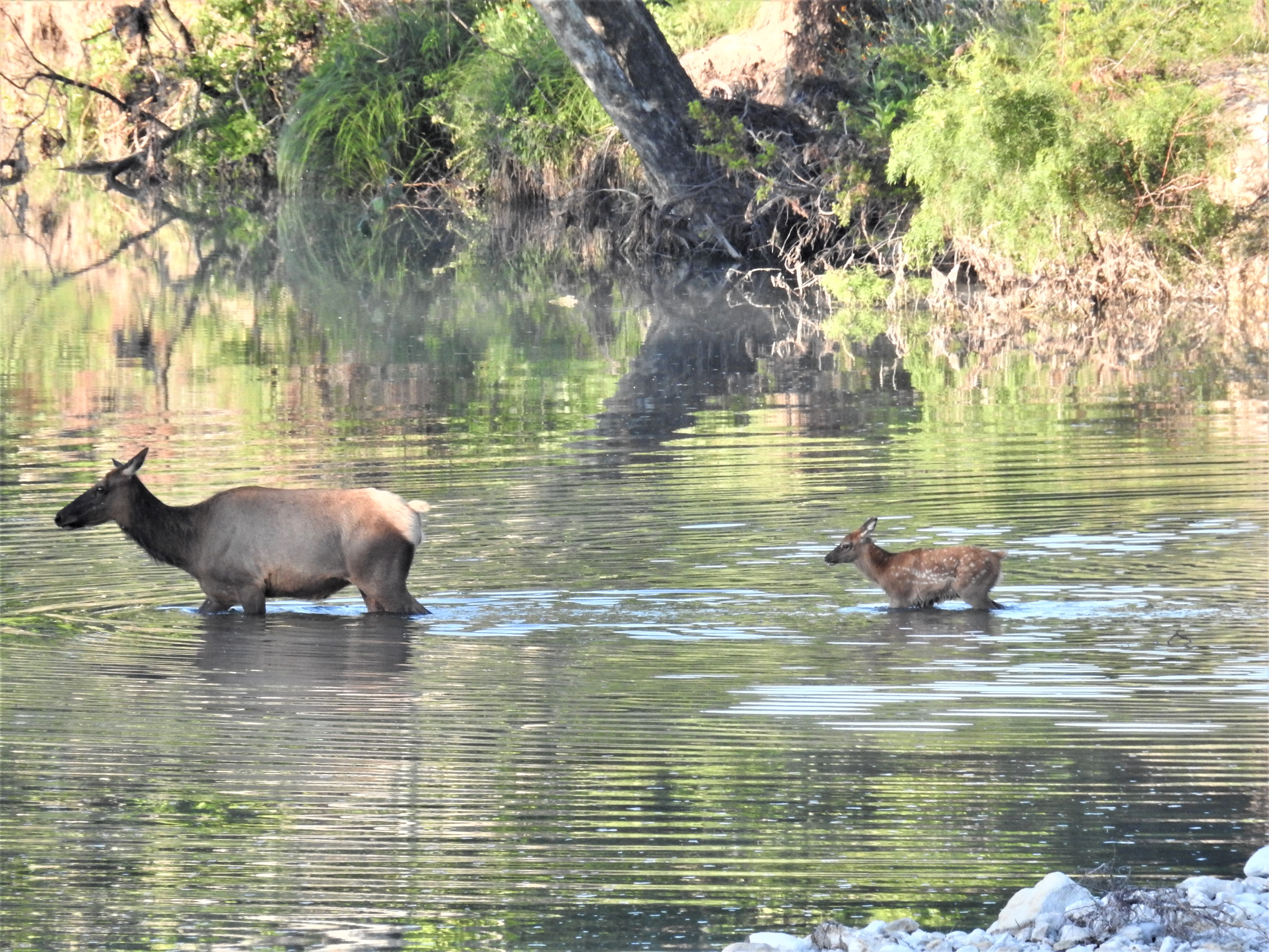 Cow Elk and Calf in the River 2019