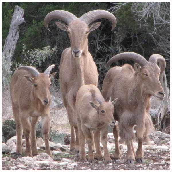 Group of Aoudad 7-2010