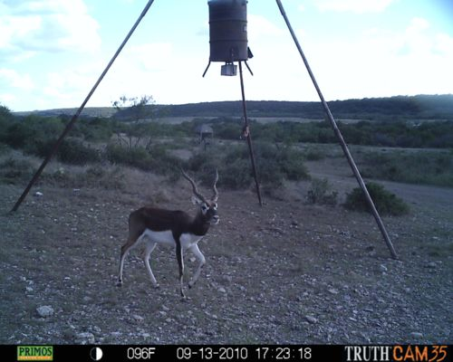 Black Buck Antelope at Feeder
