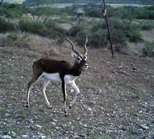 Young Black Buck Antelope