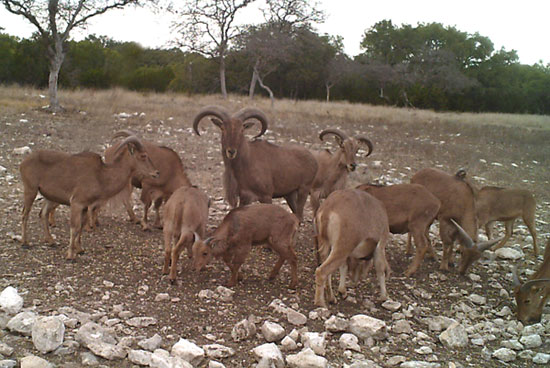 Family of Aoudad