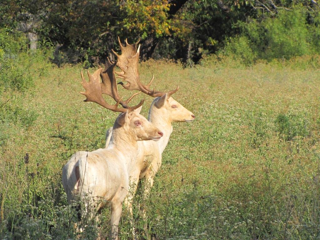 Trophy Fallow Deer Hunting in Texas; Habitat, Facts ...