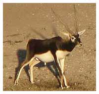 Large Black Buck Antelope