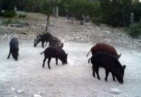 Group of Hogs 10-2010